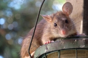 Rat extermination, Pest Control in Olympic Park, E20. Call Now 020 8166 9746