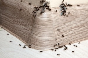 Ant Control, Pest Control in Olympic Park, E20. Call Now 020 8166 9746
