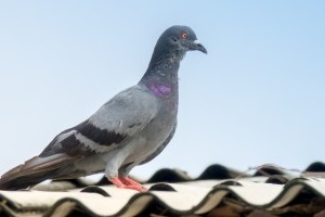 Pigeon Control, Pest Control in Olympic Park, E20. Call Now 020 8166 9746