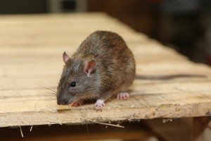 Rodent Control, Pest Control in Olympic Park, E20. Call Now 020 8166 9746